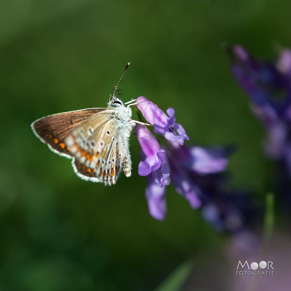 Woordloze Woensdag Vlinder Paars Groen
