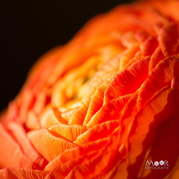 Woordloze Woensdag Macro Ranonkel Oranje Zacht Licht/></noscript> <span class=