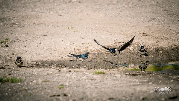 Woordloze Woensdag Zwaluwen