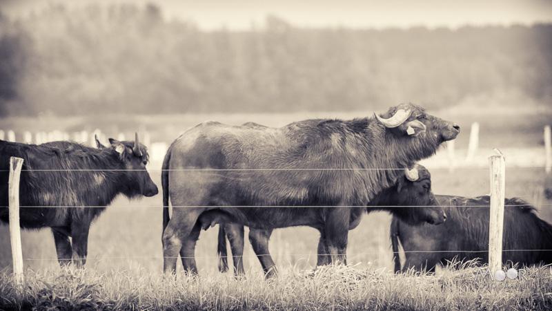 Woordloze Woensdag Waterbuffels in de Biesbosch