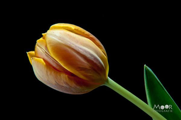 Woordloze Woensdag Tulp Strobist